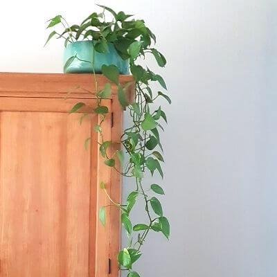 Epipremnum-kamerplant-mamameteenblog.nl_