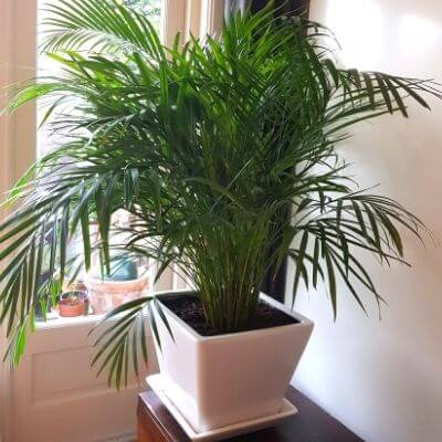 Huiskamer-palm-of-Acera-Marty-kamerplant-mamameteenblog.nl_