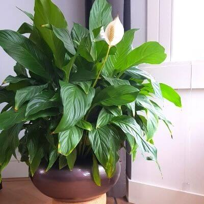 Spathiphyllum-kamerplant-mamameteenblog.nl_